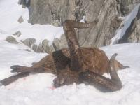 The East Caucasian Tur hunting in Azerbaijan